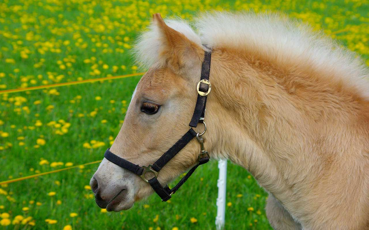 Haflinger horse breeding in the Dolomites, Avelignese ... Pictures Of Baby Horses